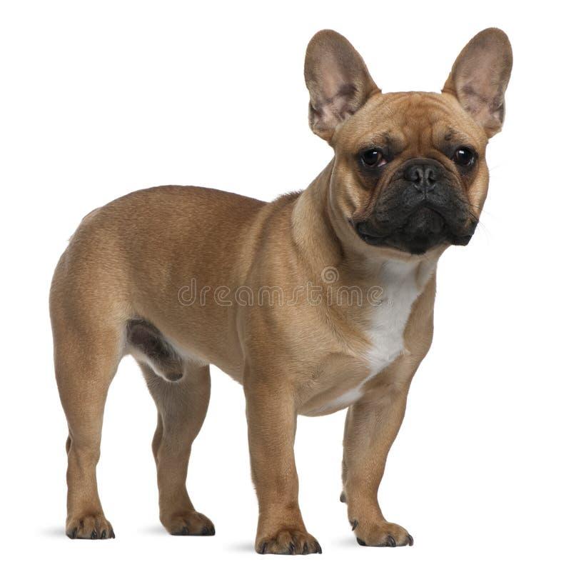 Het Franse puppy van de Buldog, 7 maanden oud, bevindende I royalty-vrije stock fotografie