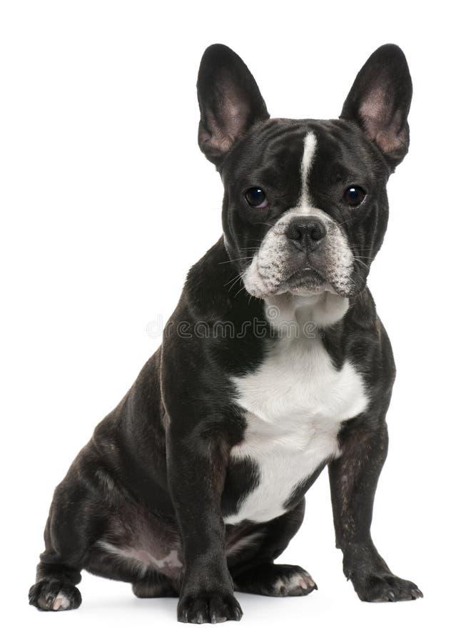 Het Franse puppy van de Buldog, 8 maanden oud, het zitten stock fotografie