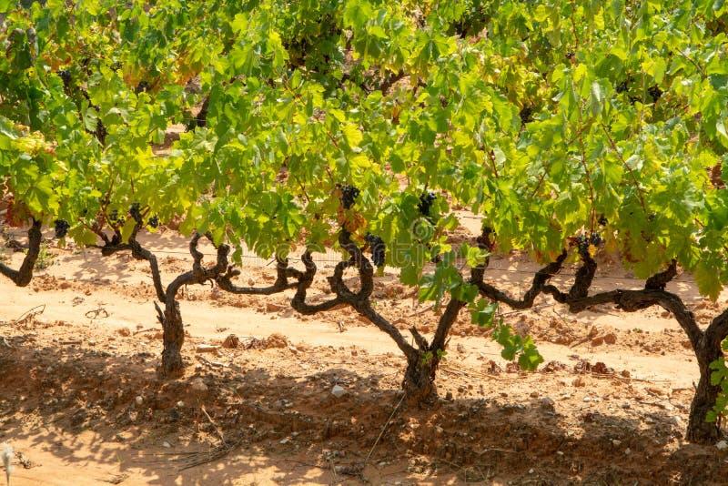 Het Franse rood en nam wijndruiven plant toe, groeiend op oker minerale grond, nieuwe oogst van wijndruif AOP in van Frankrijk, V stock afbeeldingen