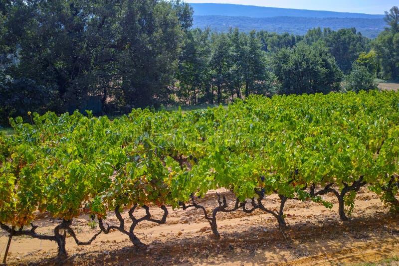 Het Franse rood en nam wijndruiven plant toe, groeiend op oker minerale grond, nieuwe oogst van wijndruif AOP in van Frankrijk, V stock fotografie
