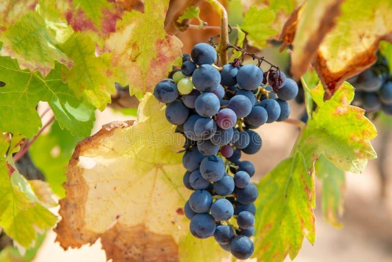 Het Franse rood en nam wijndruiven plant toe, groeiend op oker minerale grond, nieuwe oogst van wijndruif AOP in van Frankrijk, V stock foto's