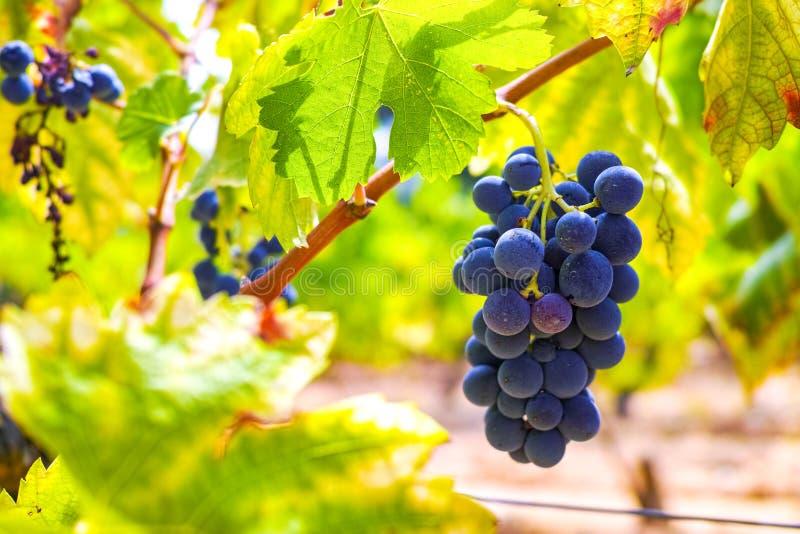 Het Franse rood en nam wijndruiven plant toe, groeiend op oker minerale grond, nieuwe oogst van wijndruif AOP in van Frankrijk, V royalty-vrije stock afbeeldingen