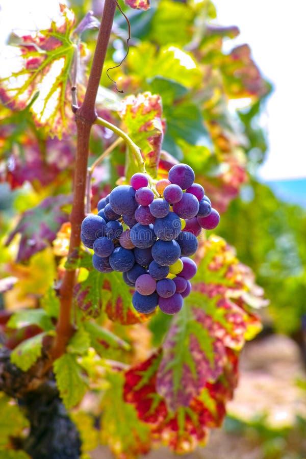 Het Franse rood en nam wijndruiven plant toe, groeiend op oker minerale grond, nieuwe oogst van wijndruif AOP in van Frankrijk, V stock foto
