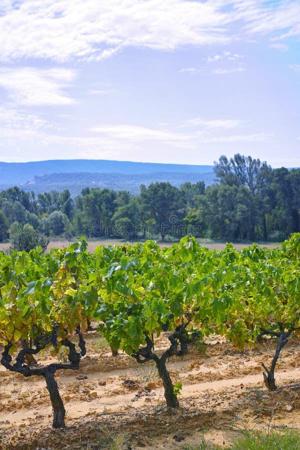 Het Franse rood en nam wijndruiven plant toe, groeiend op oker minerale grond, nieuwe oogst van wijndruif AOP in van Frankrijk, V royalty-vrije stock afbeelding