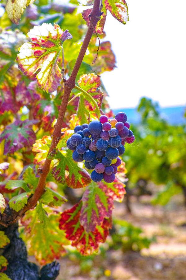 Het Franse rood en nam wijndruiven plant toe, groeiend op oker minerale grond, nieuwe oogst van wijndruif AOP in van Frankrijk, V royalty-vrije stock foto's