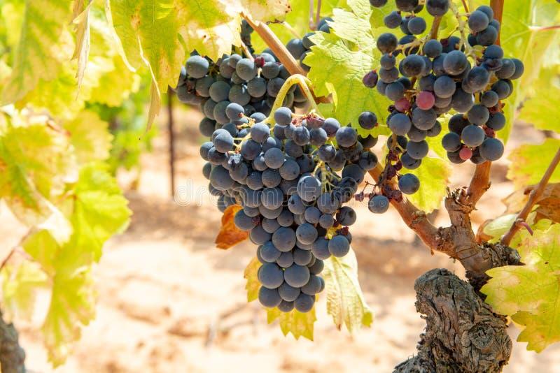 Het Franse rood en nam wijndruiven plant toe, groeiend op oker minerale grond, nieuwe oogst van wijndruif AOP in van Frankrijk, V royalty-vrije stock foto