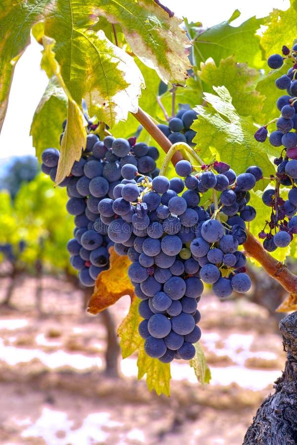 Het Franse rood en nam wijndruiven plant toe, groeiend op oker minerale grond, nieuwe oogst van wijndruif AOP in van Frankrijk, V stock afbeelding
