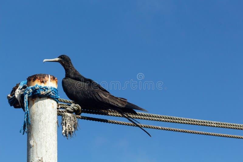 Het fregat die van de Galapagos in een bar van een haven met andere vogels uit nadruk op de achtergrond met blauwe hemel rusten royalty-vrije stock afbeeldingen