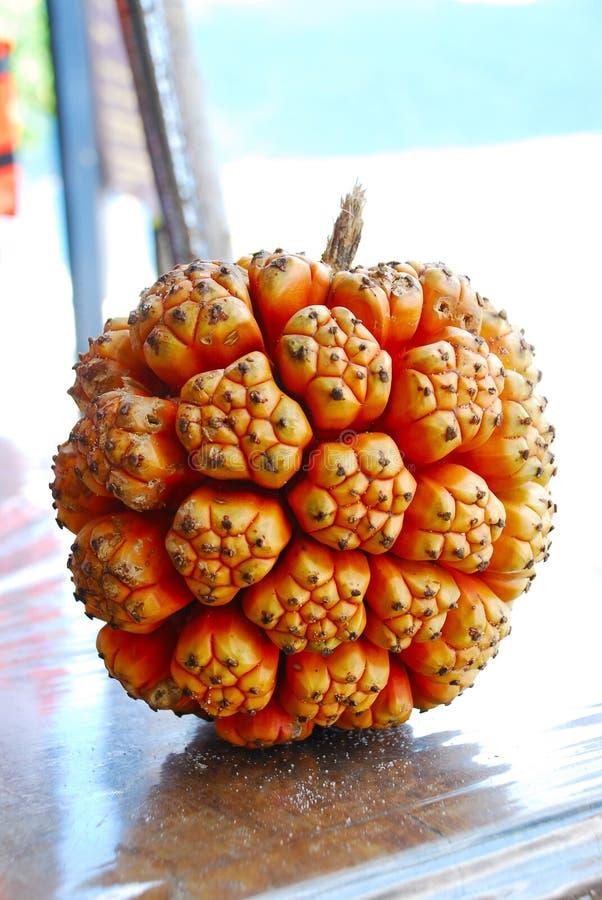 Het is fruit van Casuarina-equisetifolia of Australische pijnboomboom of zij eik, soort Casuarina of agohopijnboom of equisetifol stock foto's