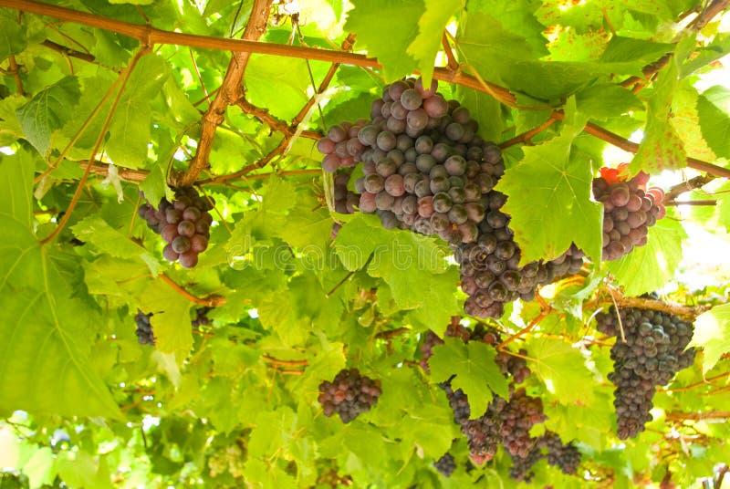 Het fruit van de druif op boom in Wijngaarden royalty-vrije stock foto's