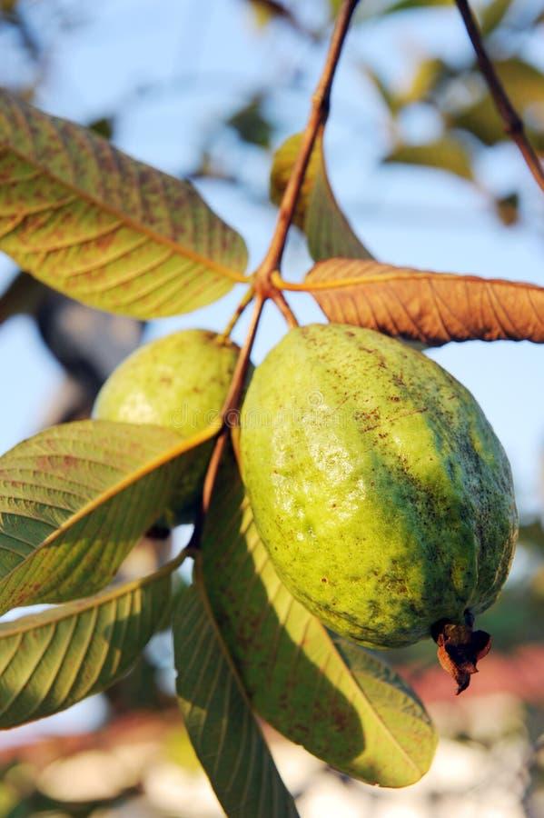 Het fruit van de guave stock afbeeldingen