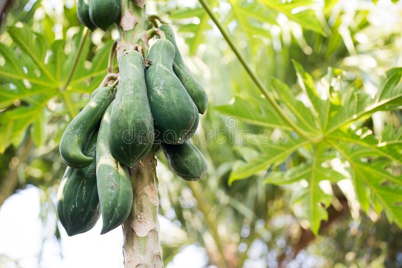 Het fruit van de nadrukpapaja op boom van de achtergrond van de bodemmening stock fotografie