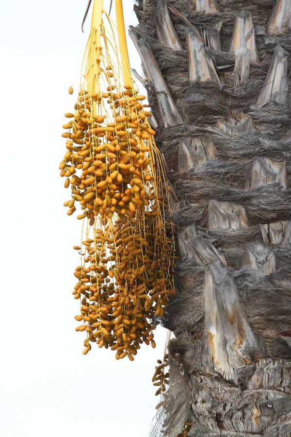 Het Fruit van de palm royalty-vrije stock foto's