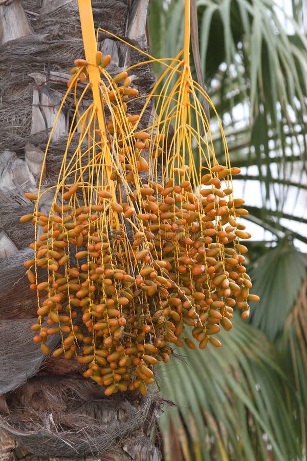 Het Fruit van de palm royalty-vrije stock afbeeldingen
