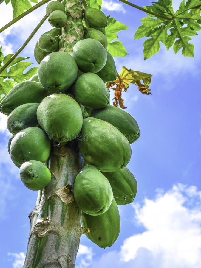 Het fruit van de papaja op boom stock afbeelding