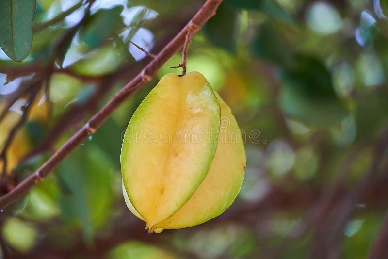 Het fruit van de sterappel, Organische Verse Sterfruit of carambola van Carambola Averrhoa op de Boom royalty-vrije stock afbeelding