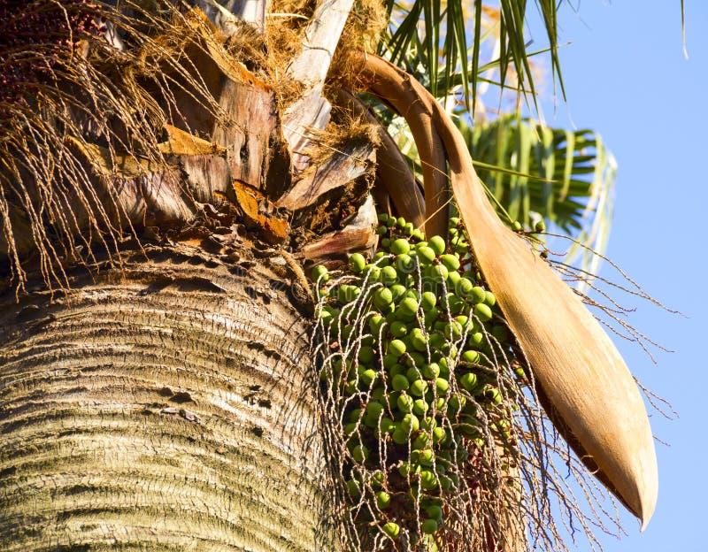 Het fruit van een palm royalty-vrije stock afbeelding