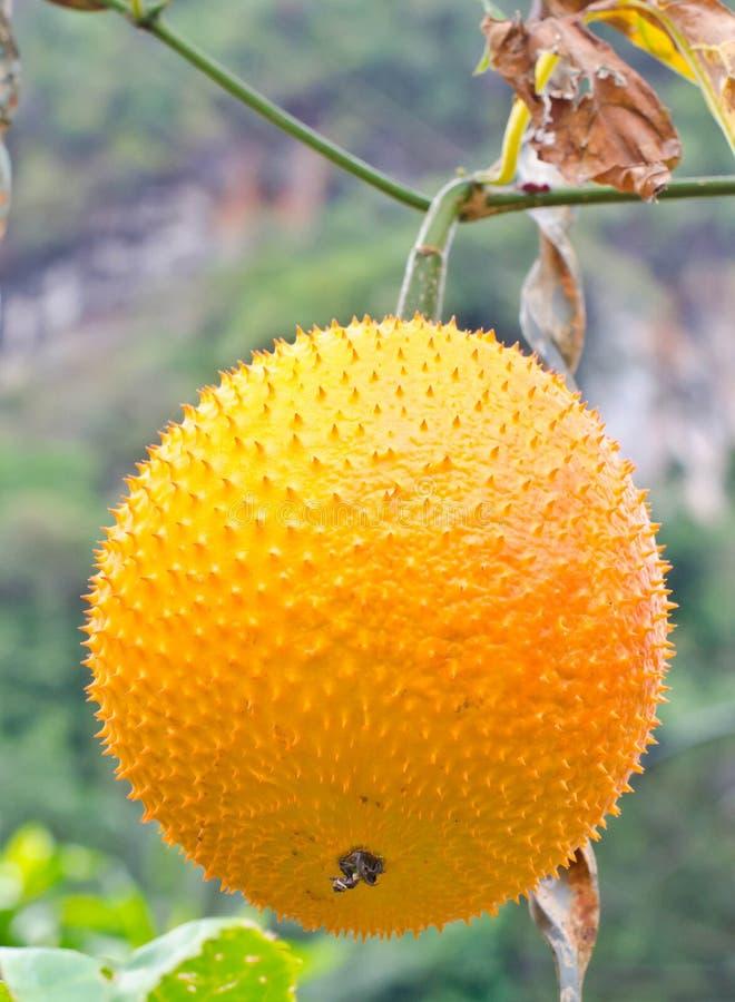 Het fruit van Gac. royalty-vrije stock foto's