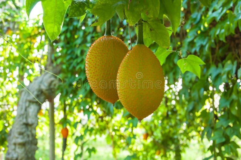 Het fruit van Gac, Baby Jackfruit stock foto's