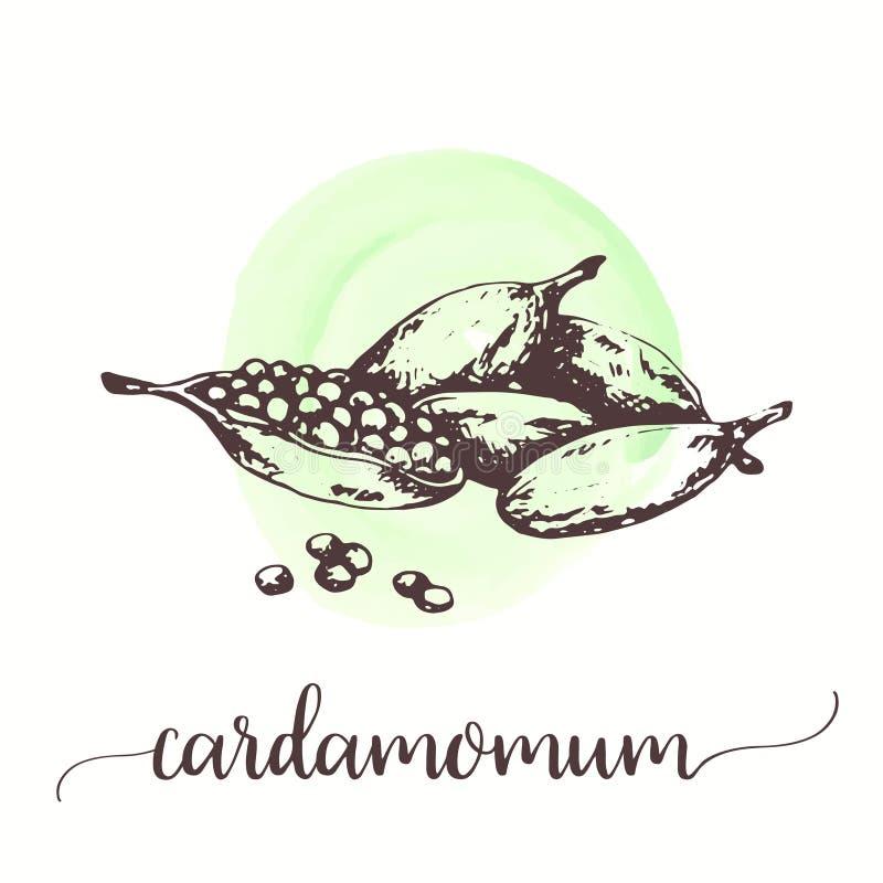 Het fruit van het kardemomkruid met zaden Vectorhand getrokken uitstekende gravureillustratie van kruidontwerpen voor promo, etik stock illustratie