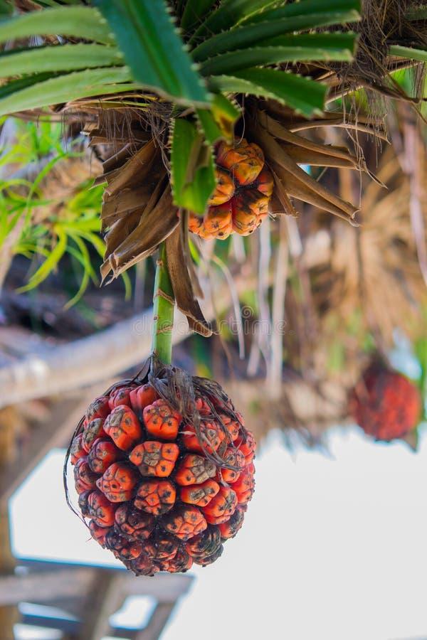 Het fruit van kustscrewpine stock fotografie