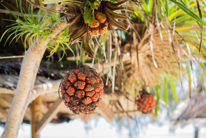 Het fruit van kustscrewpine stock foto