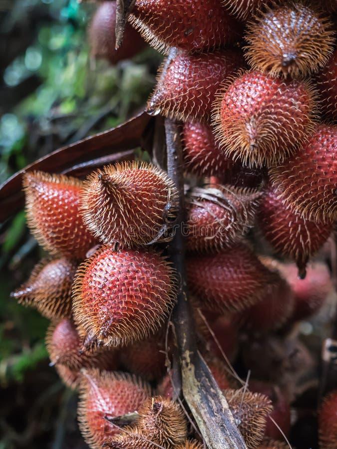 Het fruit van Salacca royalty-vrije stock afbeelding