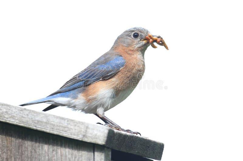 Het geïsoleerde_ Vogelhuis van Sialia stock foto's