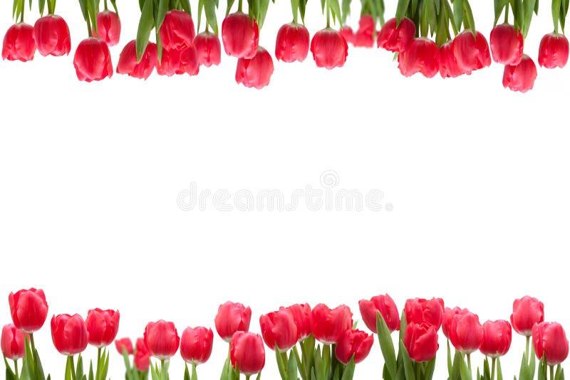 Het geïsoleerded Frame van de Tulp stock afbeeldingen