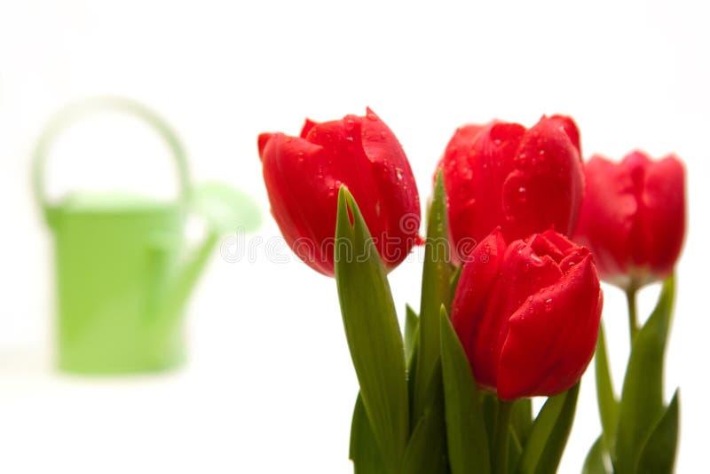 Het geïsoleerdee rood droped tulp bouqet royalty-vrije stock foto's
