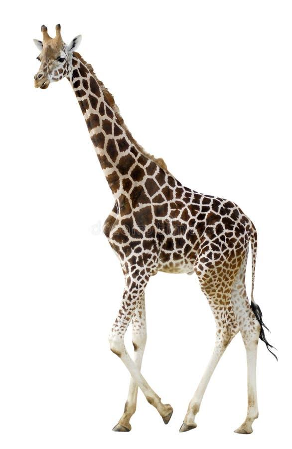 Het geïsoleerdeg giraf lopen stock foto's