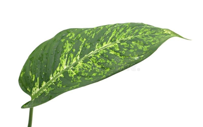 Het geïsoleerden blad van Dieffenbachia, stock afbeelding