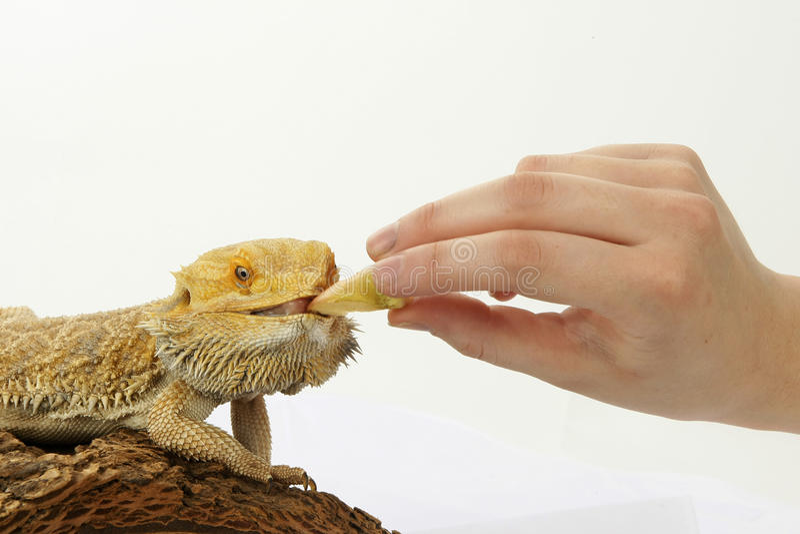 Het gebaarde draak voeden stock foto