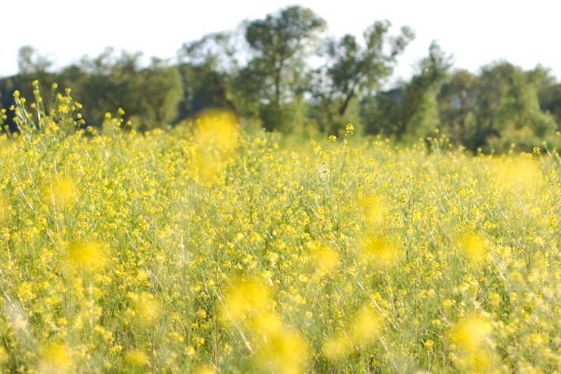 Het gebied is behandeld met gele bloemen royalty-vrije stock foto's