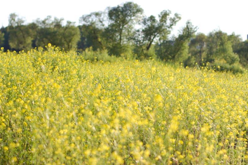 Het gebied is behandeld met gele bloemen royalty-vrije stock foto