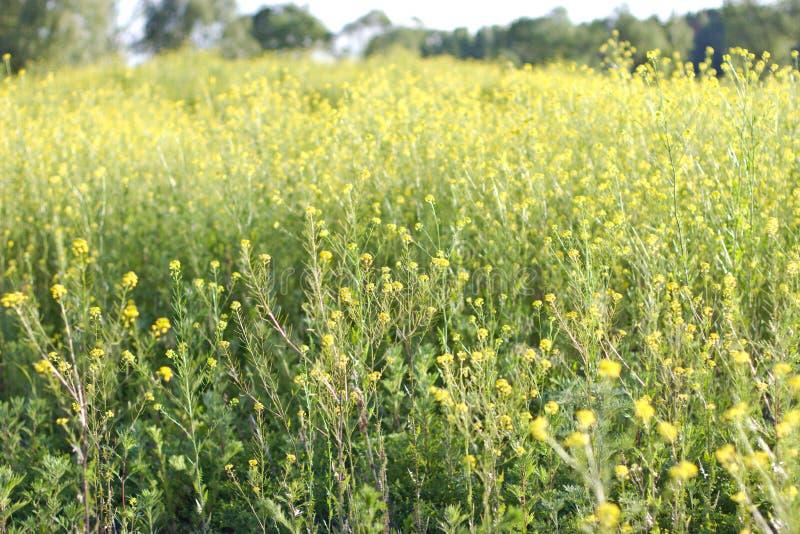 Het gebied is behandeld met gele bloemen stock afbeeldingen