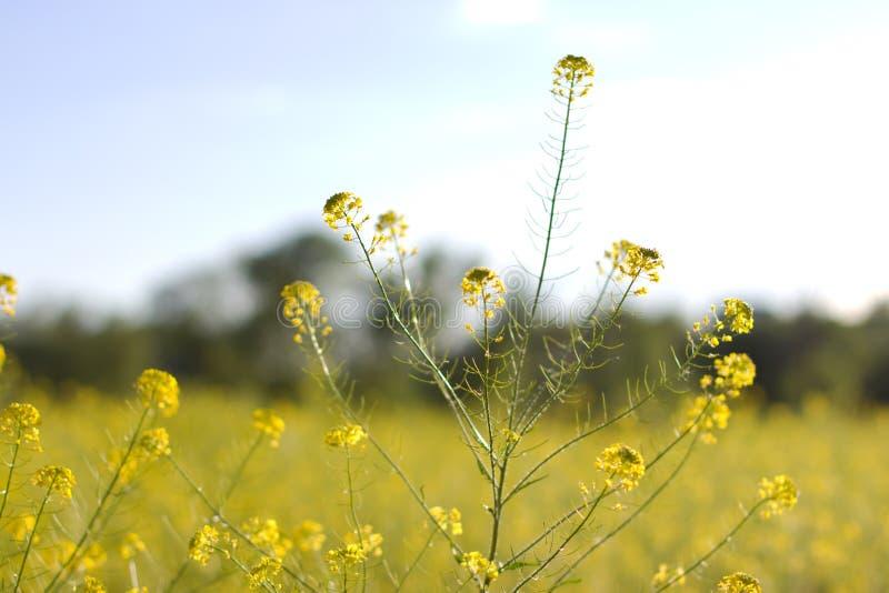 Het gebied is behandeld met gele bloemen stock afbeelding
