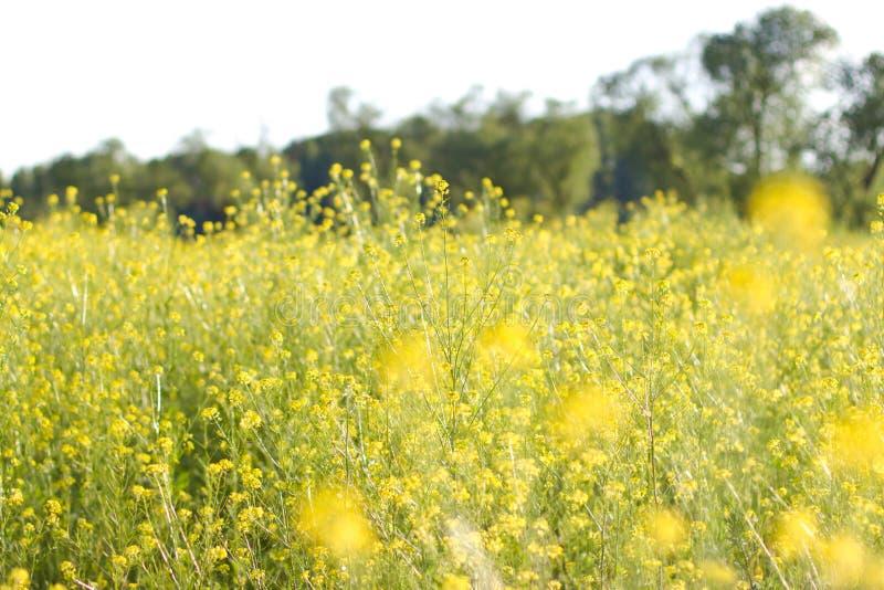 Het gebied is behandeld met gele bloemen stock fotografie