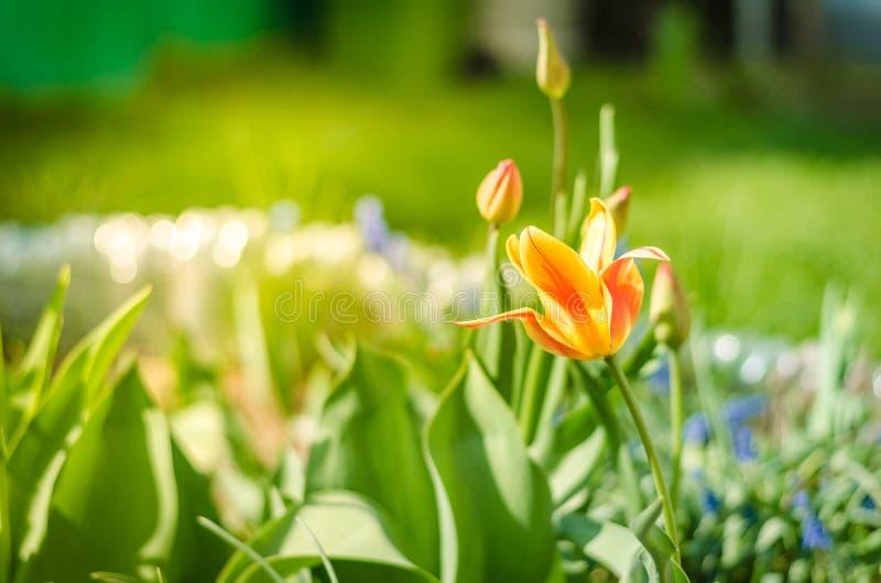 het gebied bloeit gele tulp Mooie aardscène met bloeiende gele tulp/de Lentebloemen De achtergrond van de lente royalty-vrije stock fotografie