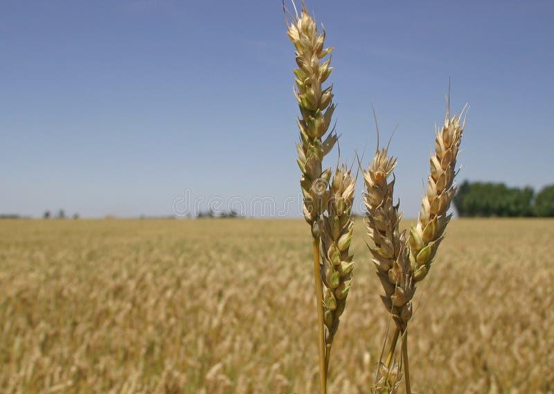 Het gebied en de aren van de tarwe stock afbeelding
