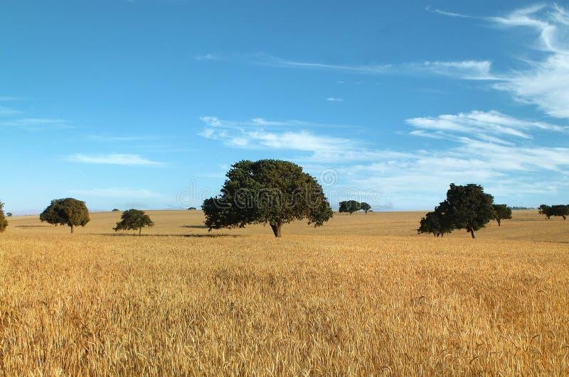 Het gebied en de bomen van de tarwe royalty-vrije stock afbeelding