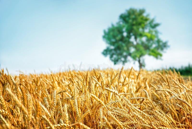 Het gebied en de boom van de tarwe stock afbeelding