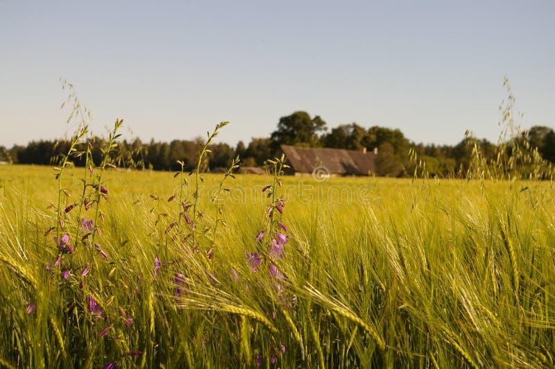 Het gebied en het landbouwbedrijf van de tarwe stock afbeelding