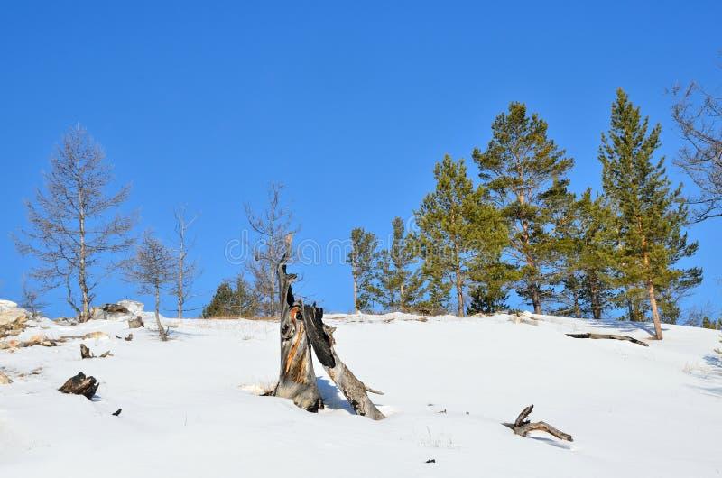 Het gebied van Baikal De boomstam van de gebrande boom op de achtergrond van het de winterwild stock foto