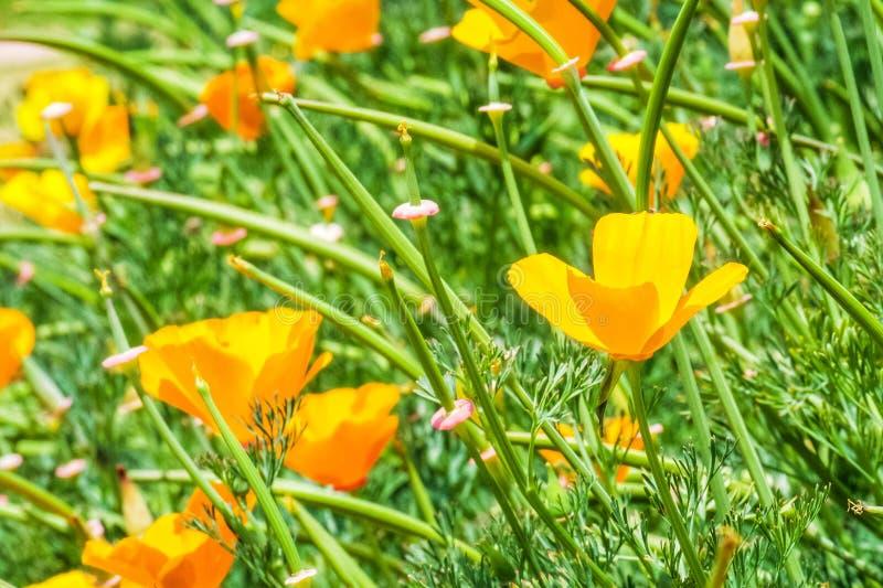 Het gebied van californica van de papavereschscholzia van Californië is bloeiend, Mooie oranje bloemen royalty-vrije stock afbeelding