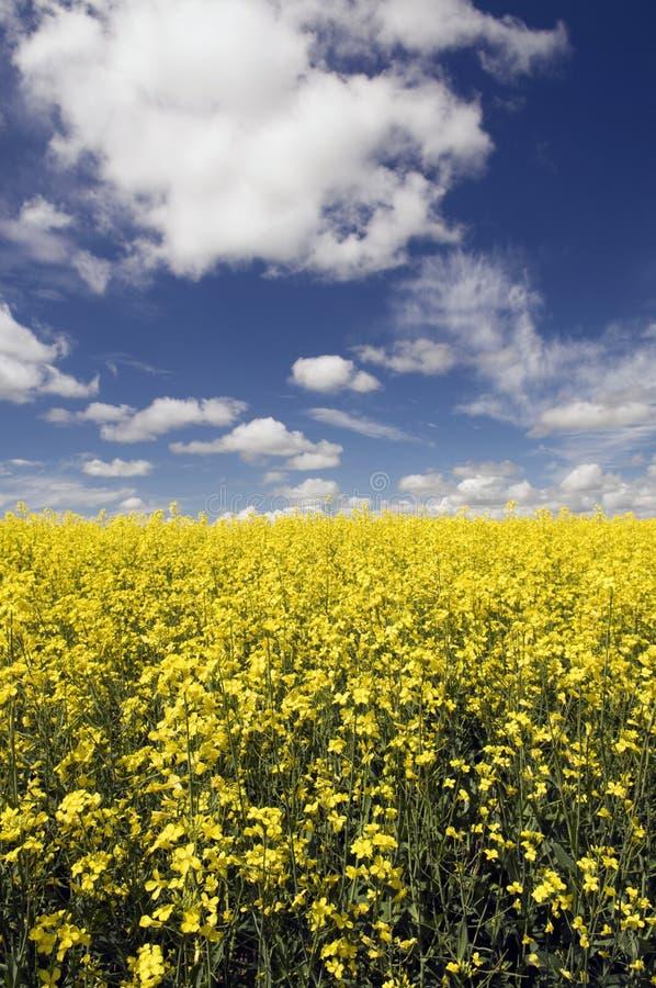 Download Het Gebied van Canola stock foto. Afbeelding bestaande uit farming - 29511822