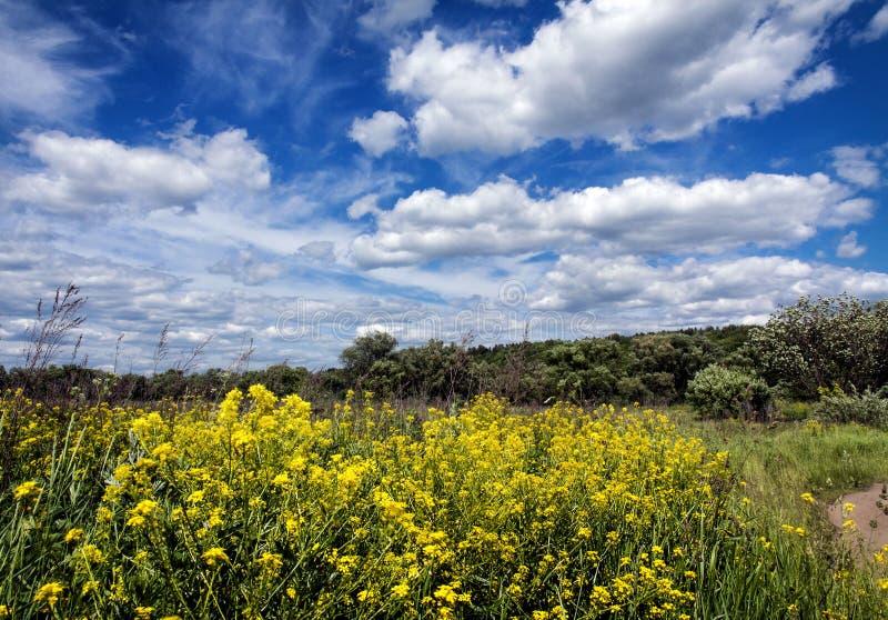 Het gebied van Chrysanth stock afbeelding