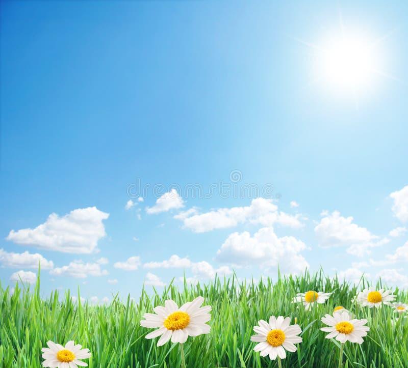 Het gebied van Daisy in de zonnige de zomerdag. stock fotografie