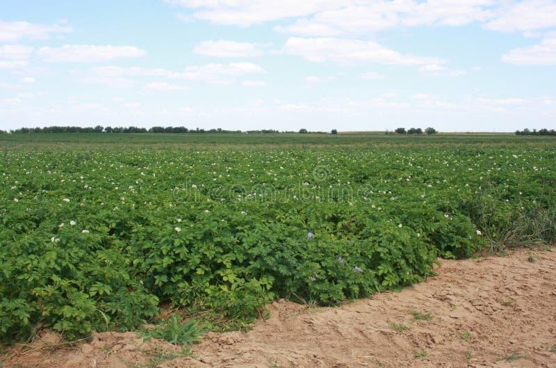 Het gebied van de aardappel royalty-vrije stock afbeelding