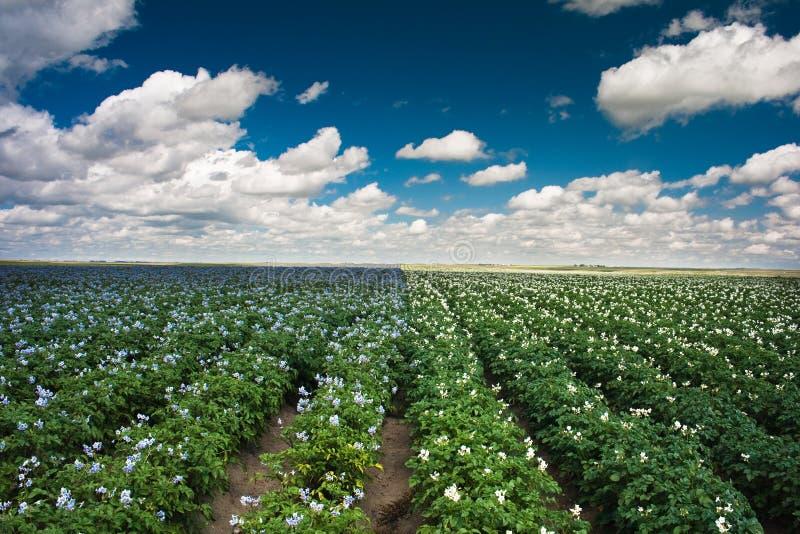 Het gebied van de aardappel royalty-vrije stock afbeeldingen